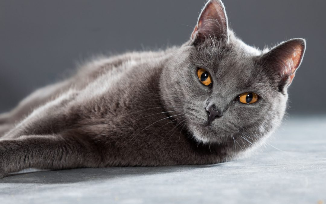 Top 8 Most Gorgeous Grey Cat Breeds