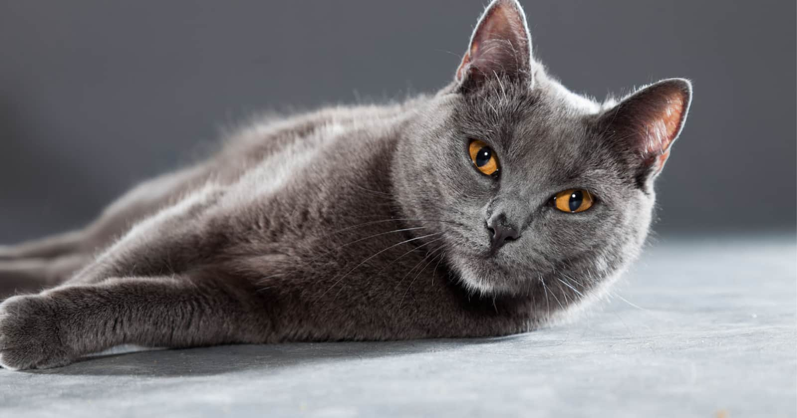 The Chartreux is one of the best mouser cat breeds