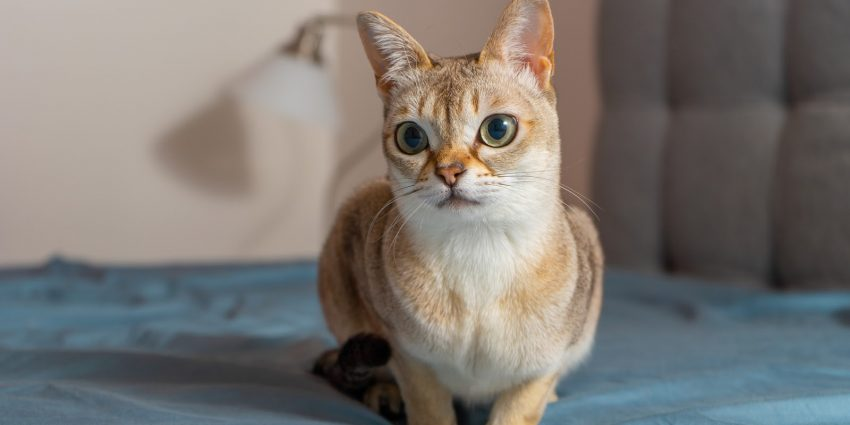 What is the smallest cat breed in the world? That would be the Singapura with a meager weight of four to seven pounds.