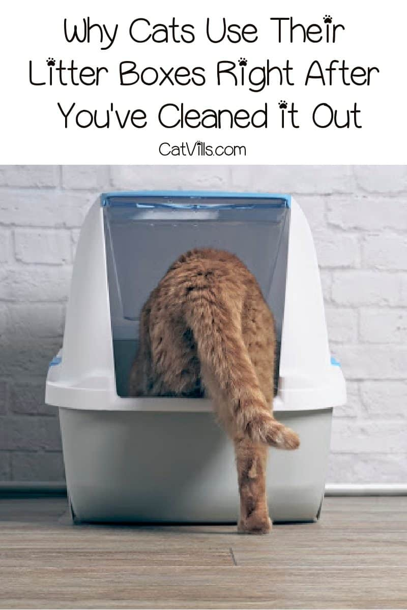 Why does my cat use his litter box right after I've cleaned it? Read on for the simple answer, plus a couple other intriguing theories!