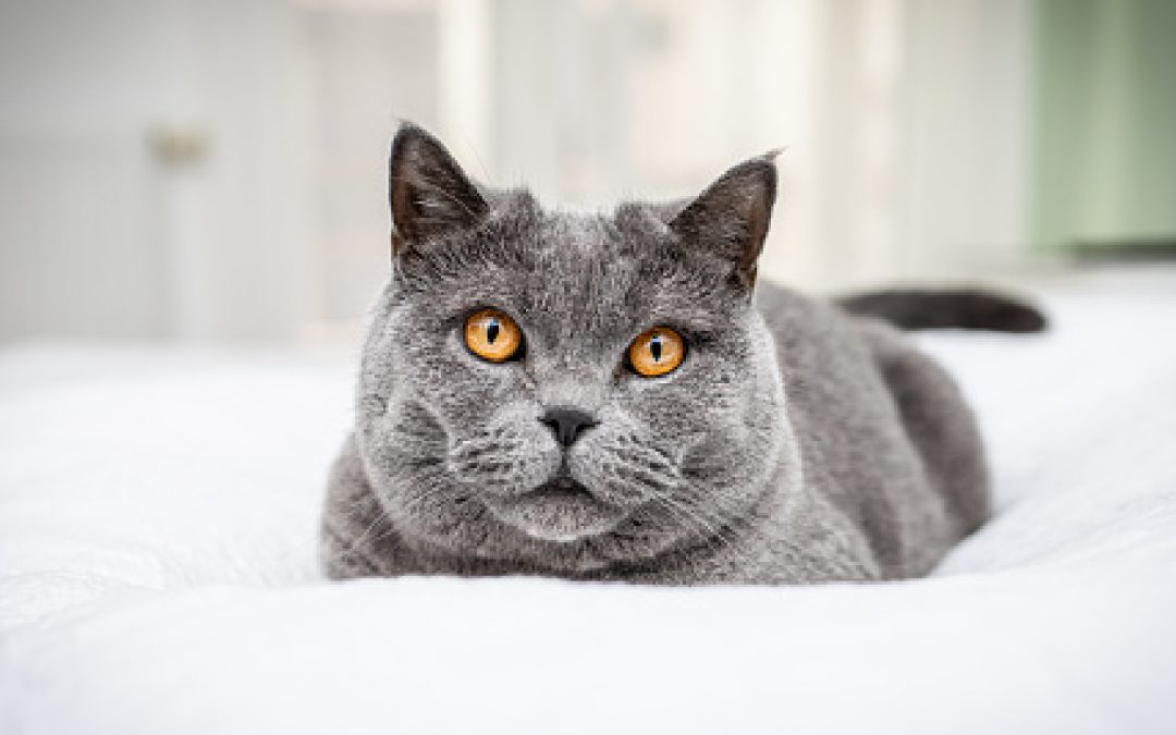 Top 7 Best Cat Trees for a British Shorthair (with Reviews)