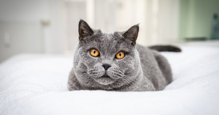 Looking for the best cat trees for a British Shorthair? Don't worry, it's not hard! Check out some of our favorites!