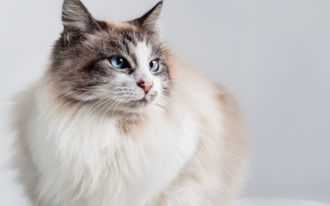 Top 5 Best Litter Boxes for Ragdoll Cats (with Complete Reviews)