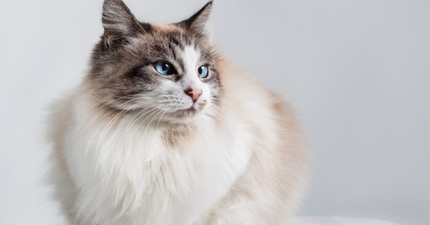 Curious about the most sought after cat breeds? These 10 kitties really capture the hearts of everyone who meets them!