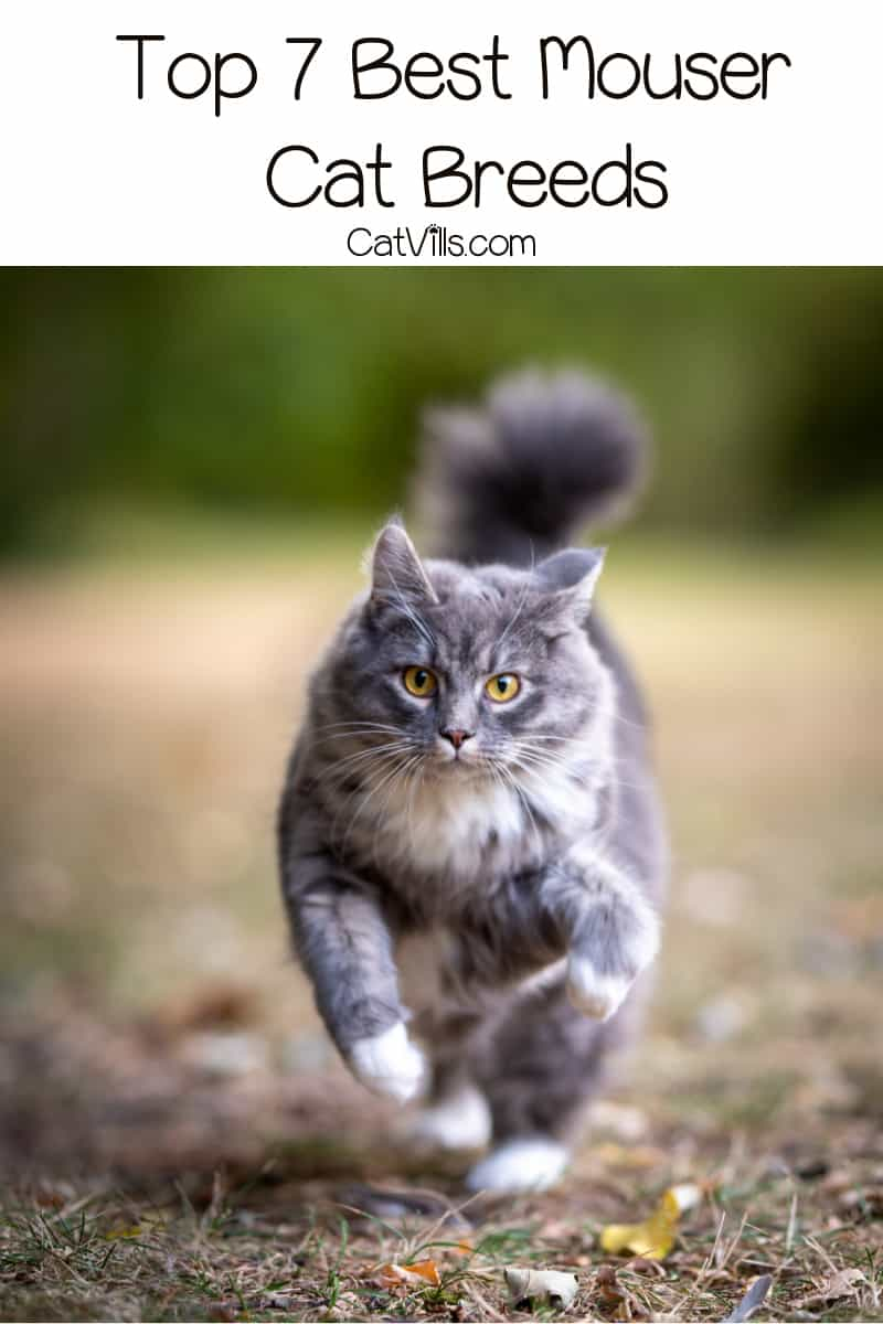 What are the best mouser cat breeds? These 7 kitties are excellent hunters. Be warned, though, they love bringing you gifts to prove their prowess!
