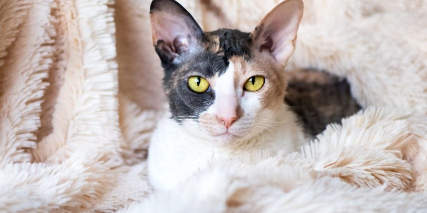Another small cat breed is the affectionate Cornish Rex