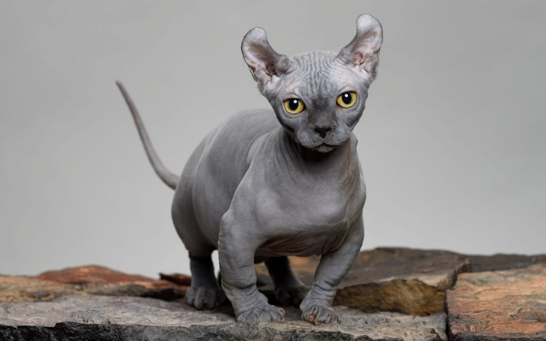 Top 7 Smallest Cat Breeds in the World