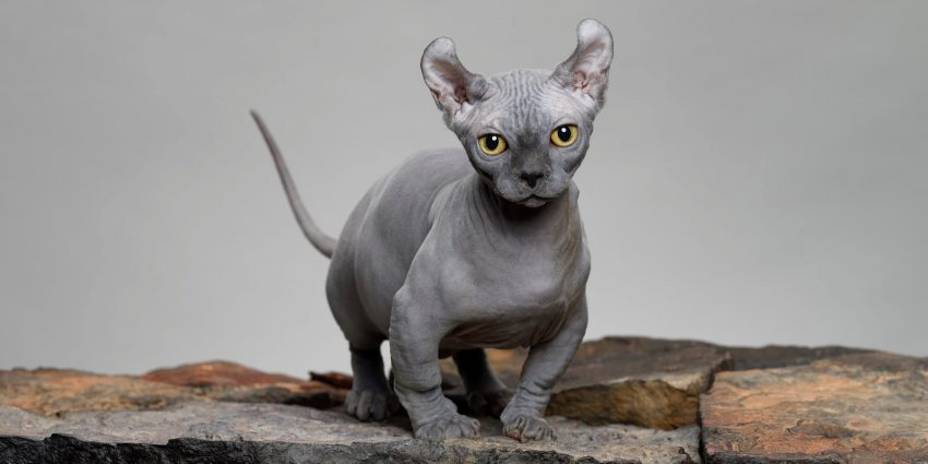 Grey Dwelf Cat, one of the tiniest cat breeds
