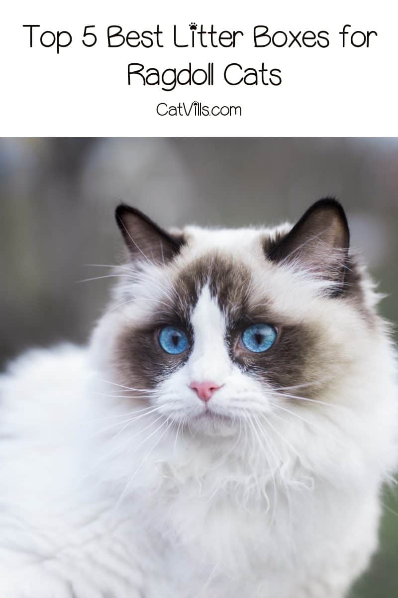 If you're curious about the best litter boxes for Ragdoll cats, let me help you out. Here are my top five picks, along with complete reviews!
