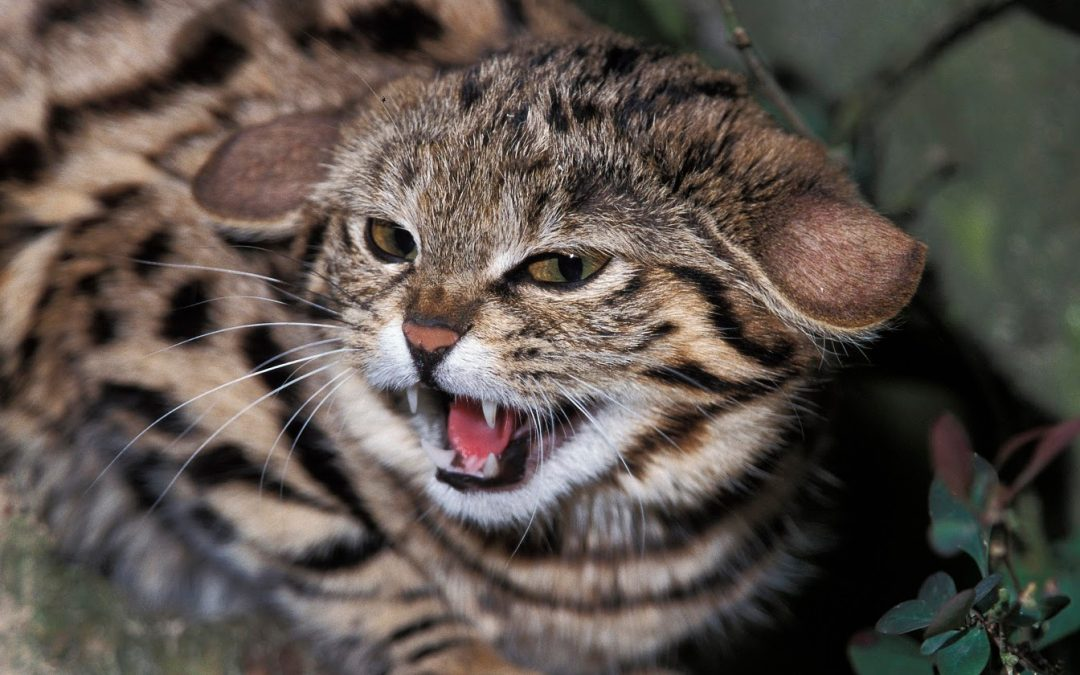 8 Most Dangerous Cat Breeds in the World (Some Will Absolutely Shock You!)