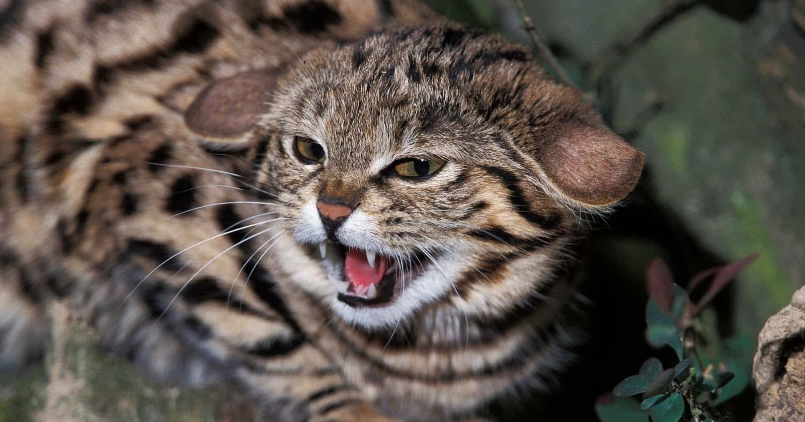 Want to know about the most dangerous cat breeds? Check out 8 that aren't for the feint of heart. Surprisingly, many are legal to own!