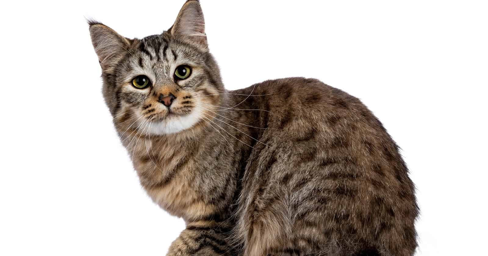Pixie-bobs are among the dangerous cat breeds