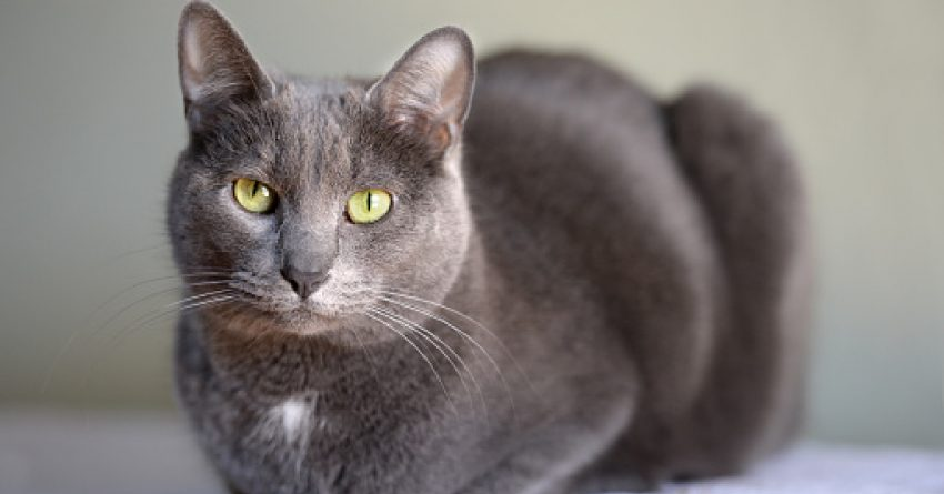 Are you fascinated with grey cat breedsand can't get enough of their stunning appearance? Then you'll love these top 8 silver beauties!