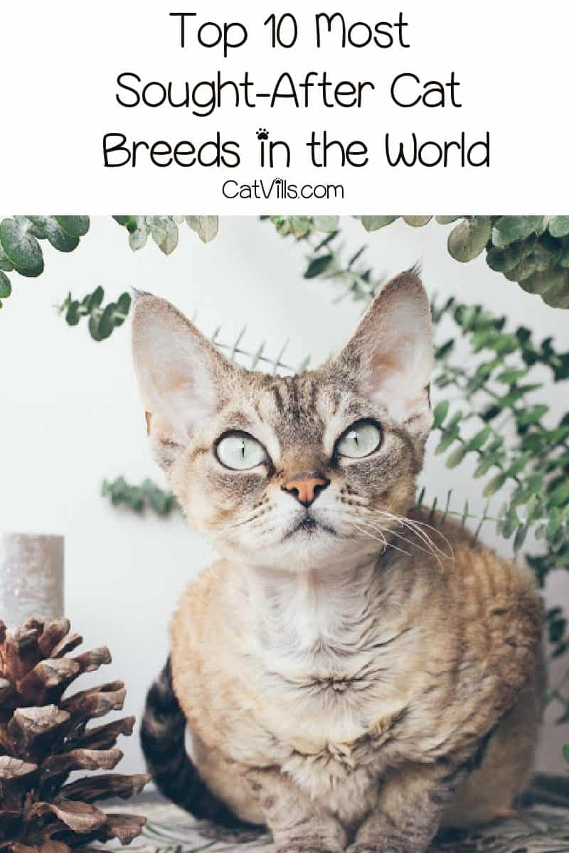 Curious about the most sought-after cat breeds? These 10 kitties really capture the hearts of everyone who meets them, making them the most popular of all!