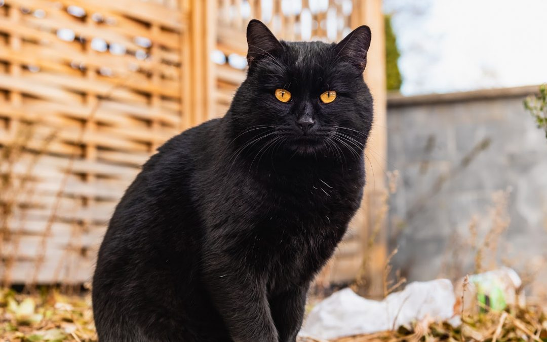 7 Reasons Why Your Black Cat is Turning Brown (+ When to Worry)