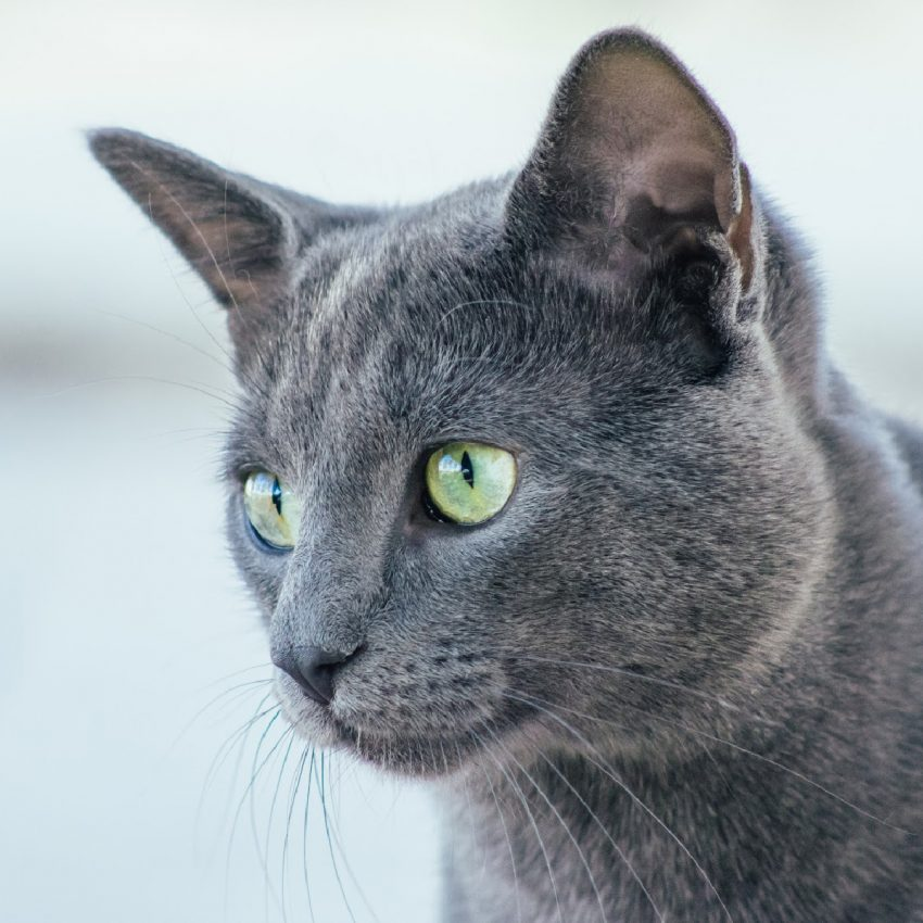 Are you fascinated with grey cat breeds and can't get enough of their stunning appearance? Then you'll love these top 8 silver beauties!