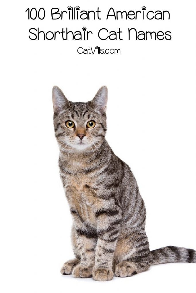 If you're looking for some brilliant American Shorthair cat names, we've got you covered! Check out 100 that we absolutely love, with 50 each for males and females!