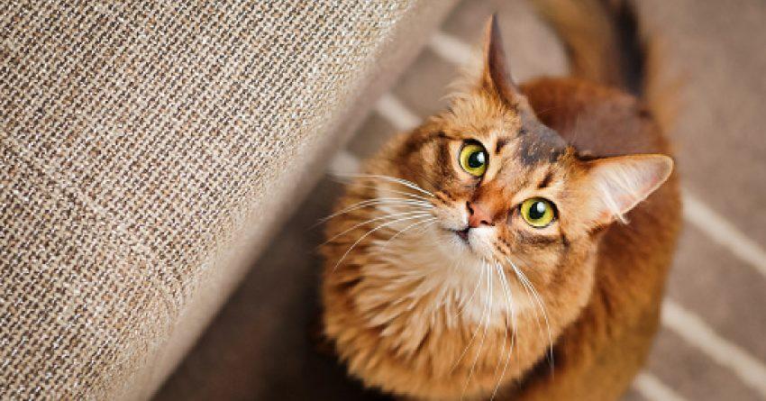Orange cat breeds somali