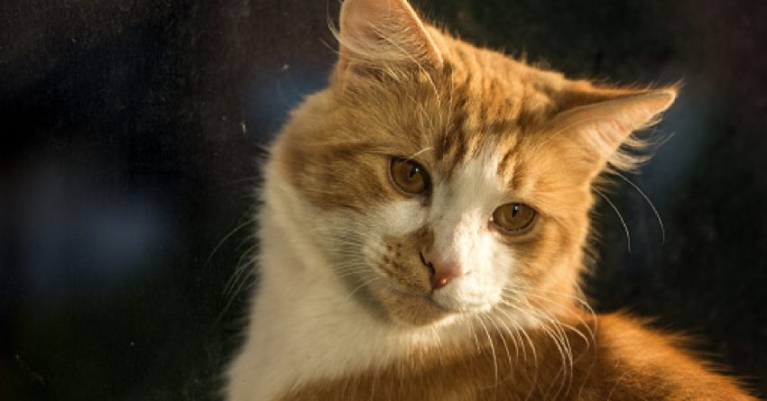 Ginger cat close-up during golden hour