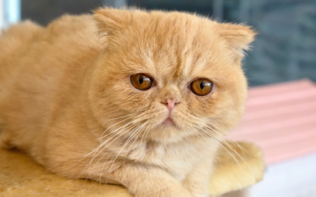 8 Fabulous Orange Cat Breeds You'll Fall Madly In Love With