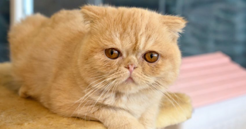 Orange Exotic Shorthair on Cat Tree