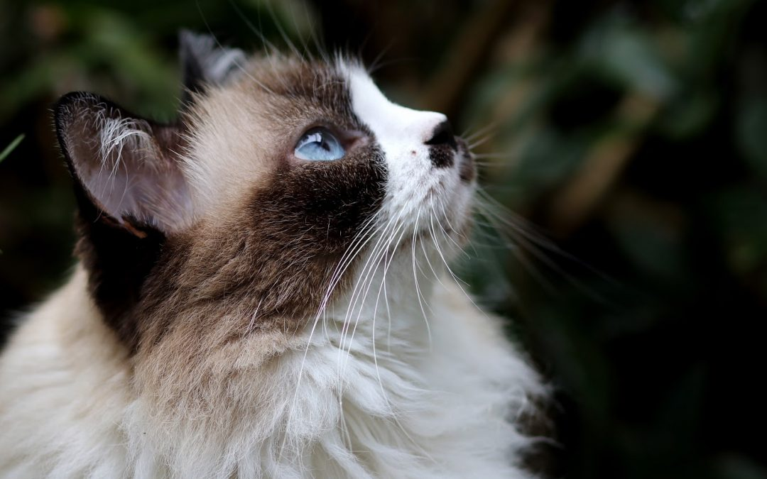 7 Cat Breeds That Can Be Left Alone