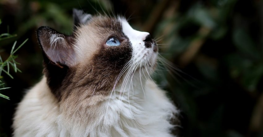Looking for cat breeds that can be left alone and won't miss you too much when you're gone? Check out these 7 independent felines!