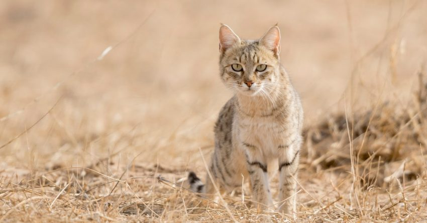 If you're looking for some of the best desert names for cats, then this list will help you make a choice! Check out 100 ideas we adore!