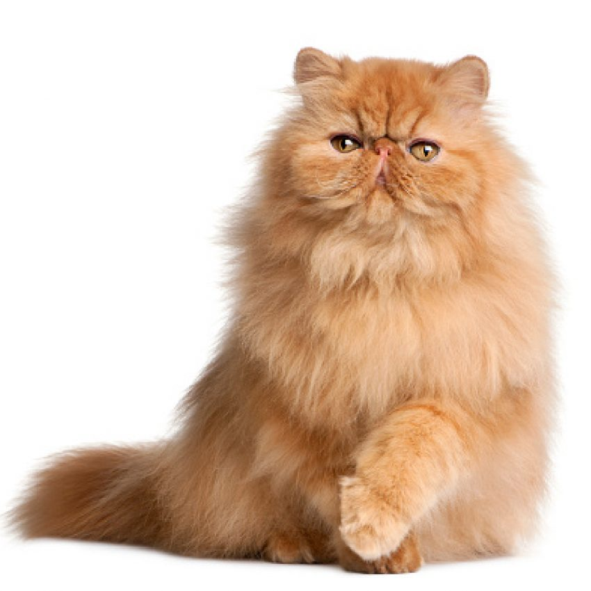 Looking for some of the most beautiful and popular orange cat breeds? You'll fall head over heels for these 8 beautiful ginger kitties! Check it out!