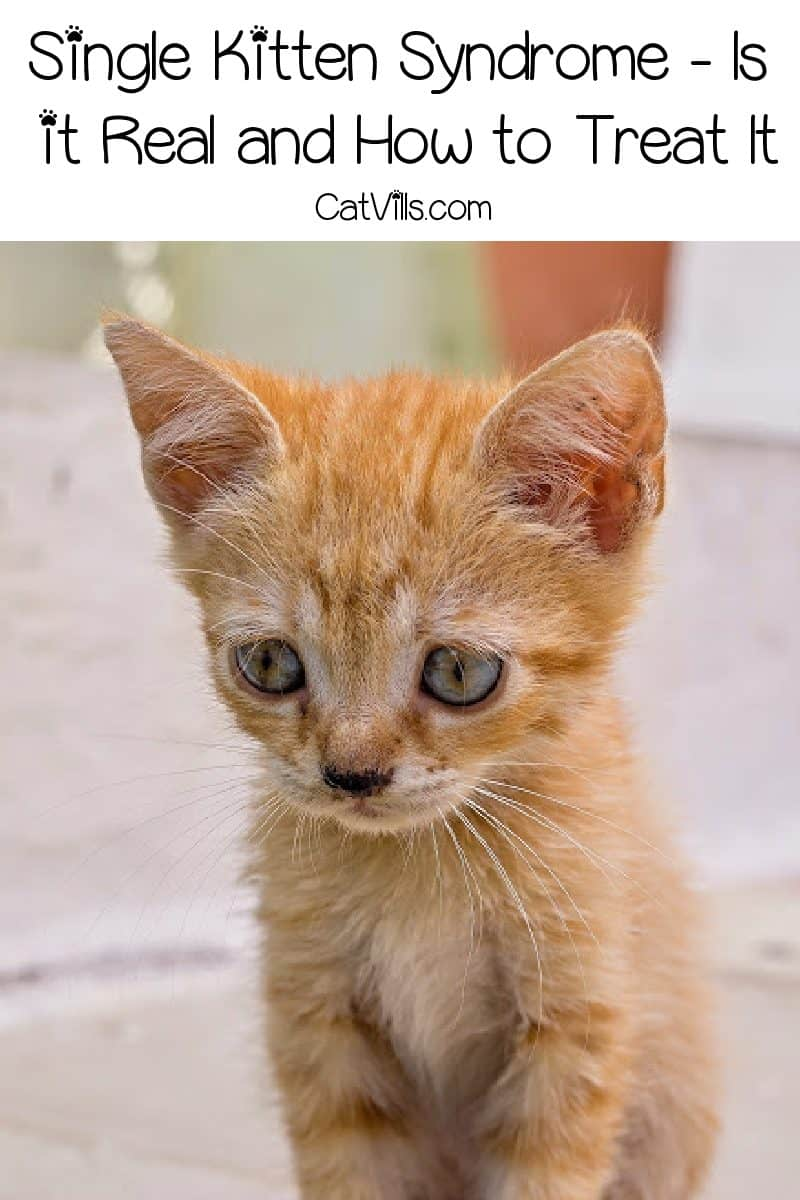 Single Kitten Syndrome, aka Single Cat Syndrome may not be recognized, but the symptoms are very real. Learn why & how to treat it!