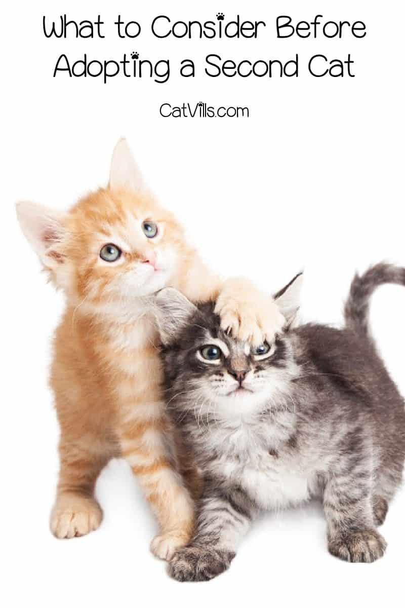 Before you get another cat to keep your cat company, there's a couple of things you should consider. Check them out!