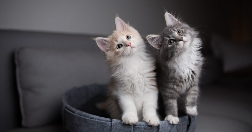 Thinking about adopting multiple cats at once but not sure if it's a good idea? Take a look at the pros and cons to help you decide!