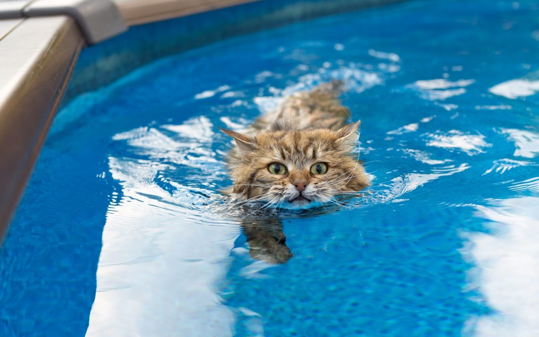 5 Incredible Cat Breeds That Like Water (Definitive Guide)