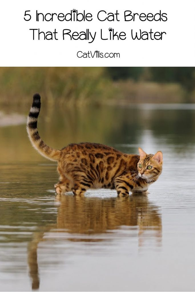 Are there any cat breeds that like water? You betcha! In fact, these 5 kitties don't just like it, they're practically obsessed! Take a look!