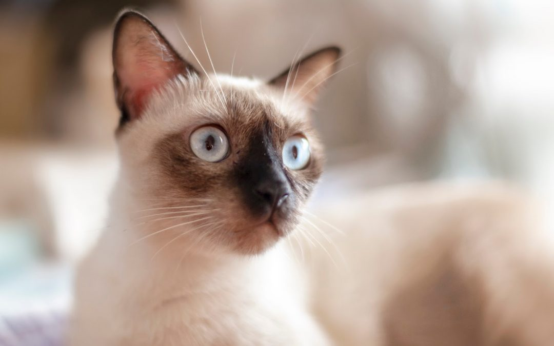 7 Most Playful Cat Breeds That Really Know How to Have Fun