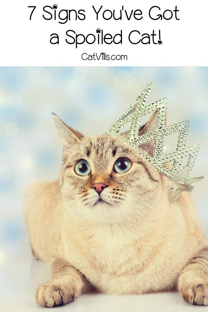 How can you tell if your cat is spoiled? Check out the top 7 signs! Plus, read 8 proven tips for dealing with a coddled kitty!