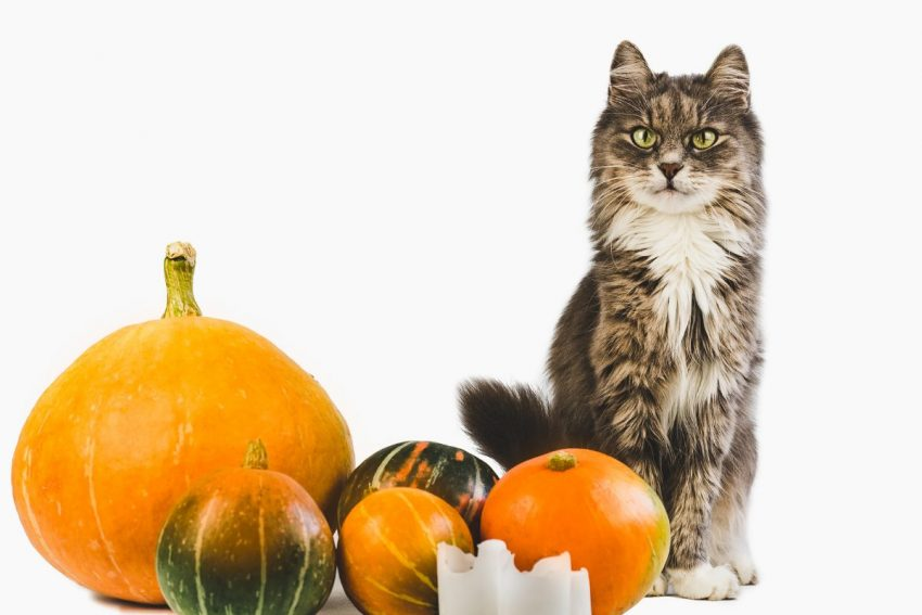 Looking for some great cat Thanksgiving and Christmas cat treat recipes? We've got you covered!  Check out 7 ideas that are perfect for the holidays (or any other time of the year)!