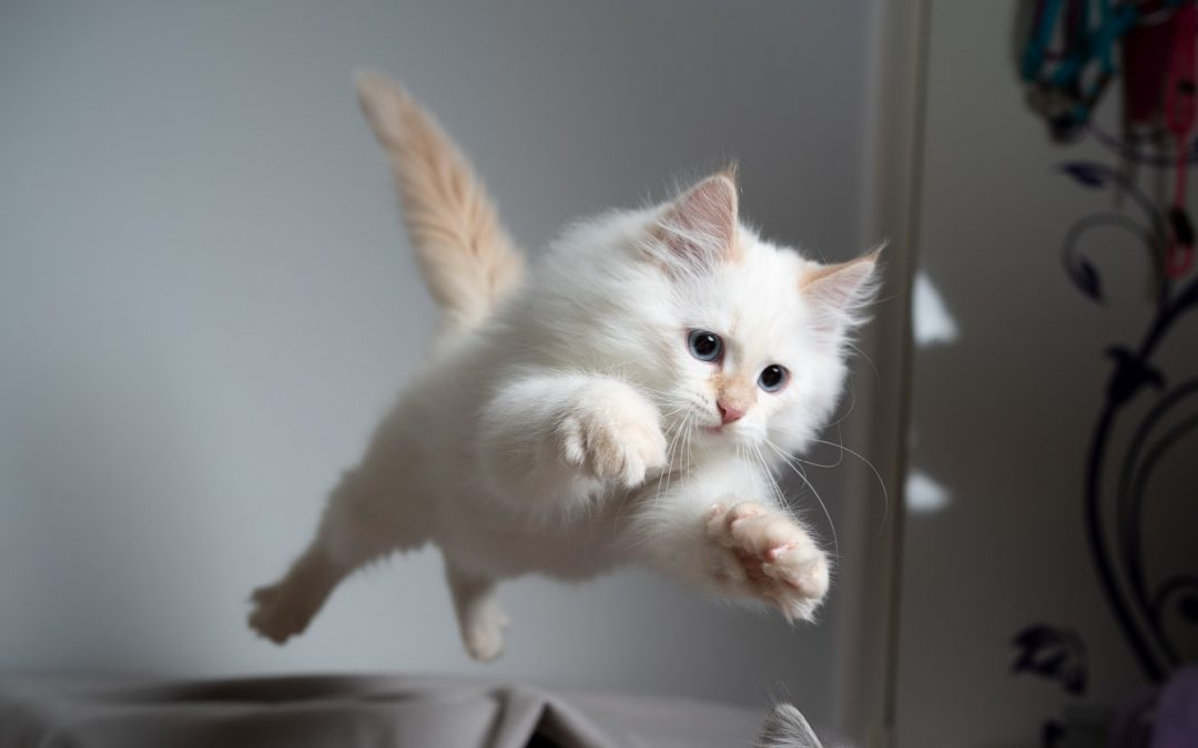 What Cat Breeds Can Jump the Highest + Some of the Strongest Cat Breeds