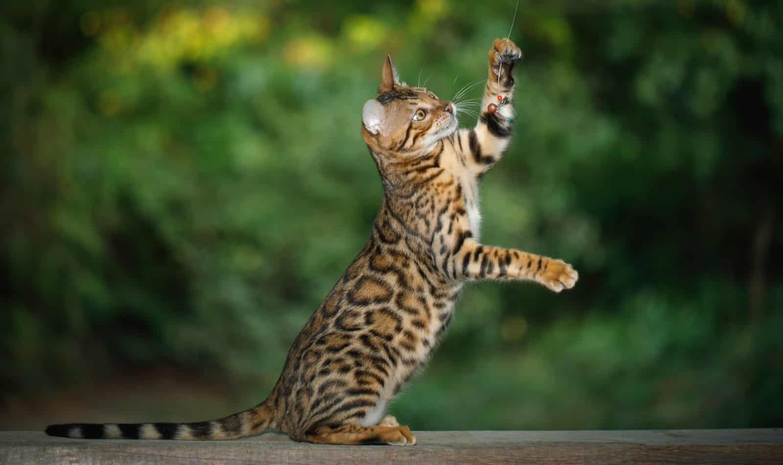 How do I train my cat to stand on his hind legs? We're going to answer that! Read on and teach your kitty this neat trick!