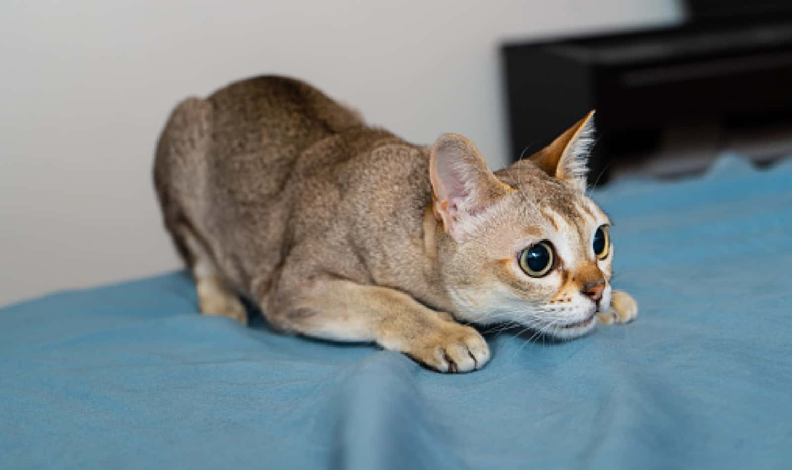 8 Gorgeous Cat Breeds With Big Eyes To Swoon Over Catvills
