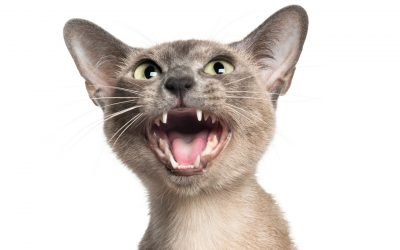 10 Most Talkative Cat Breeds to Keep You Company