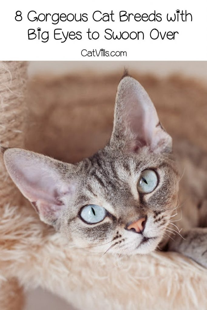 Are you madly in love with cat breeds with big eyes? Then you'll absolutely swoon over these 8 breeds with ginormous peepers! Check them out!