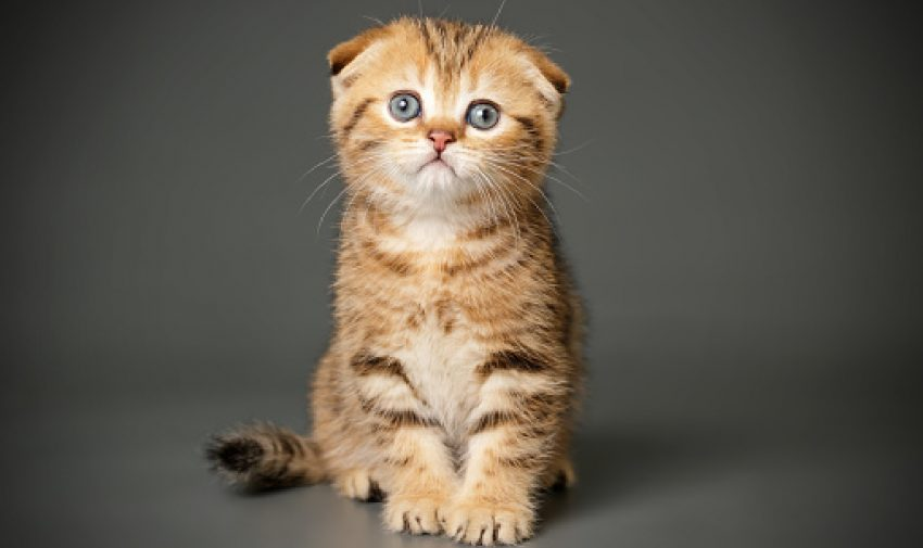 As much as we love a gabby kitty, sometimes you just need peace and quiet. That's where these least talkative cat breeds are a perfect fit!