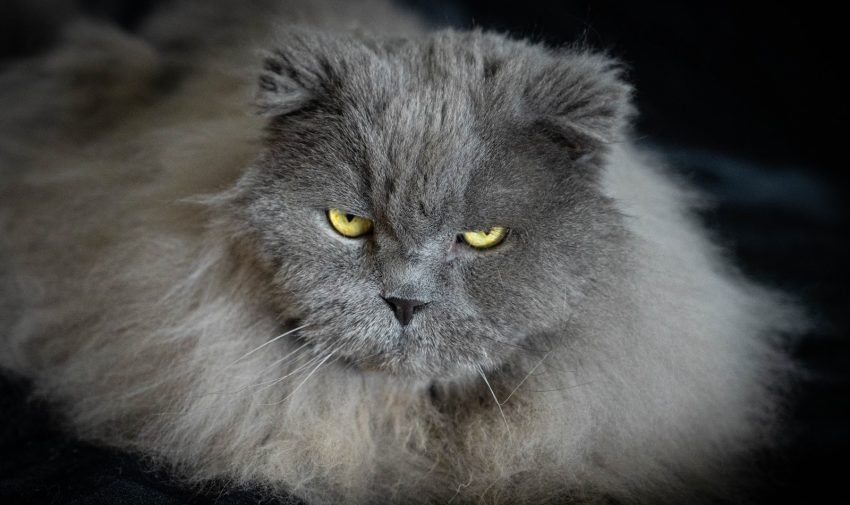 Grey cat with yellow eyes looking at the camera