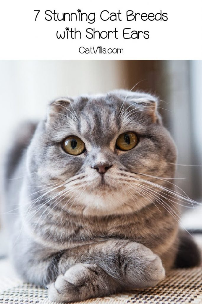 Are you looking for cute cat breeds with short ears to brighten your day? Then you'll love these 7 adorable kitties! Check them out!