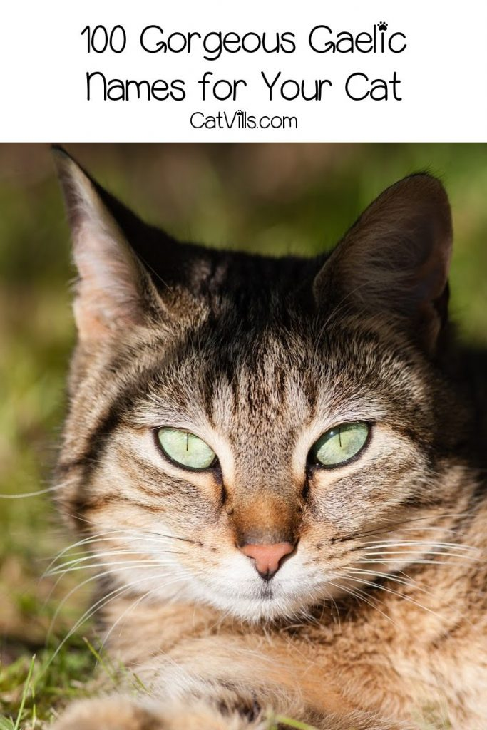 Looking for some gorgeous Gaelic cat names! Wait until you check out our top 100 favorites! We have plenty each for males and females, so take a look!