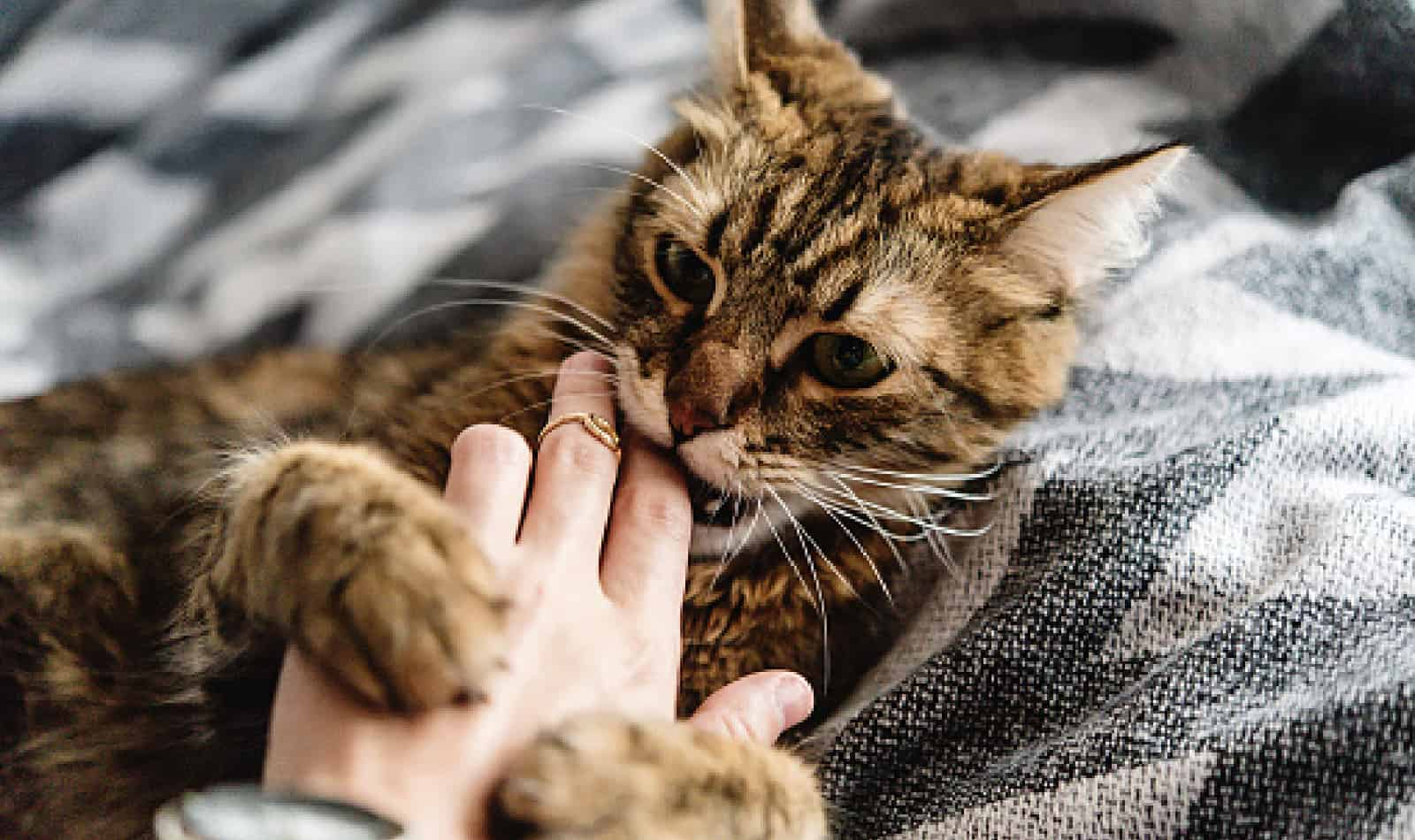 Kitten suckling is a normal behavior in the early stages of kitten life. However, it can be a problem if it becomes obsessive. Read on to learn the difference.