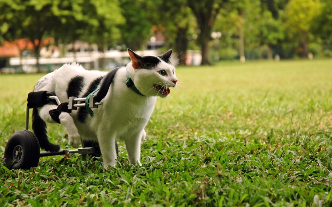 What is the Best Litter Box for Handicapped Cats?