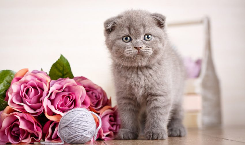 Looking for some cute names for Scottish fold cats? Wait until you see what I came up with! Check out 100 ideas, with 50 each for boy and girl kittens.