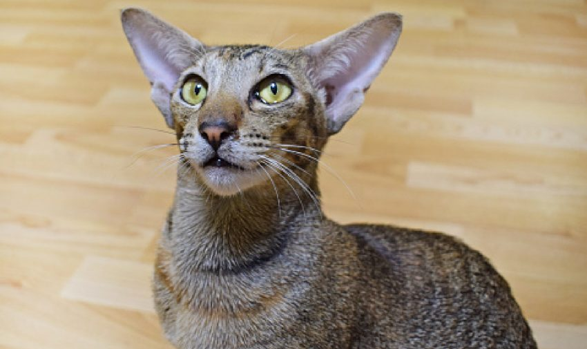 The Peterbald cat breed